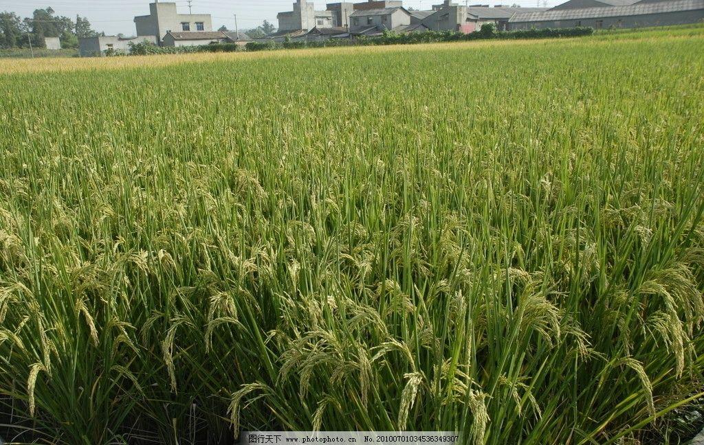 丰收水稻田图片
