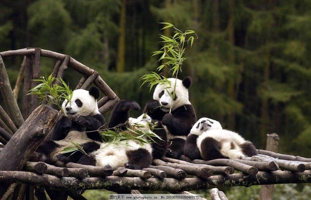 熊猫 可爱 国宝 憨态可掬 竹子 野生动物 生物世界 摄影 300dpi jpg