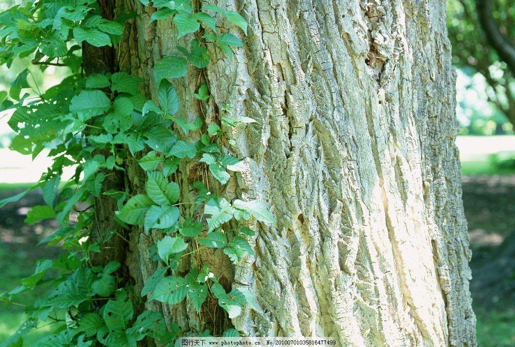 自然景观 树 树林 植物 森林 植被 生物 风景 美丽 壮观 针叶树 树藤