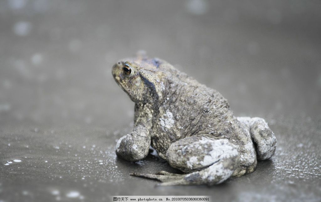 蟾蜍 中华蟾蜍 爬行动物 两栖 动物 生物 丑陋 其他生物 生物世界