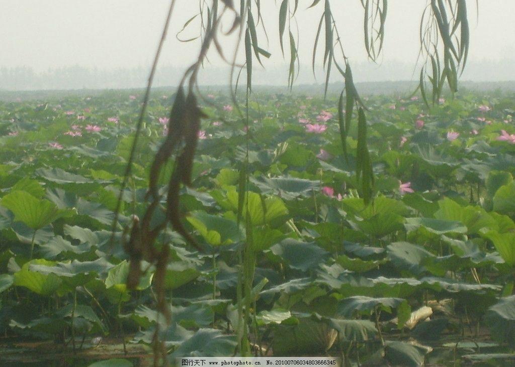 荷塘 荷花 池塘 荷叶 自然 风景 柳树 远方 自然风光 自然风景