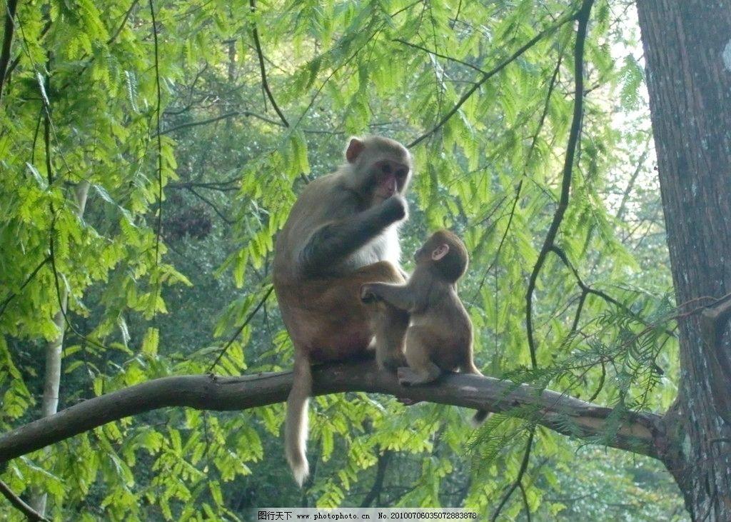 猴子 张家界 风景 母子 刚出生 摄影 树 自然景观 野生动物