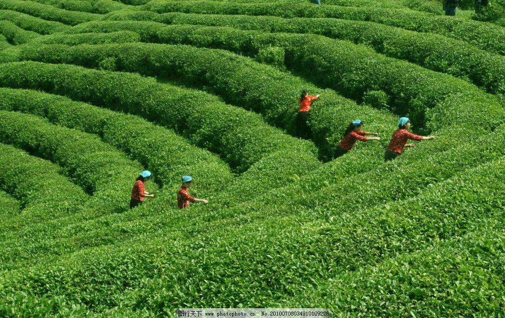 茶园风光 茶园 摘茶 摘茶妇女 茶田 绿色风景 妇女 女性 jpg素材 图片