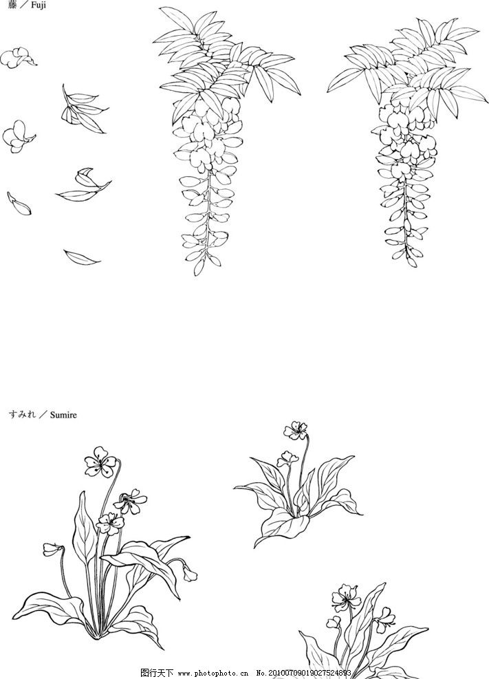 紫藤花的手绘图