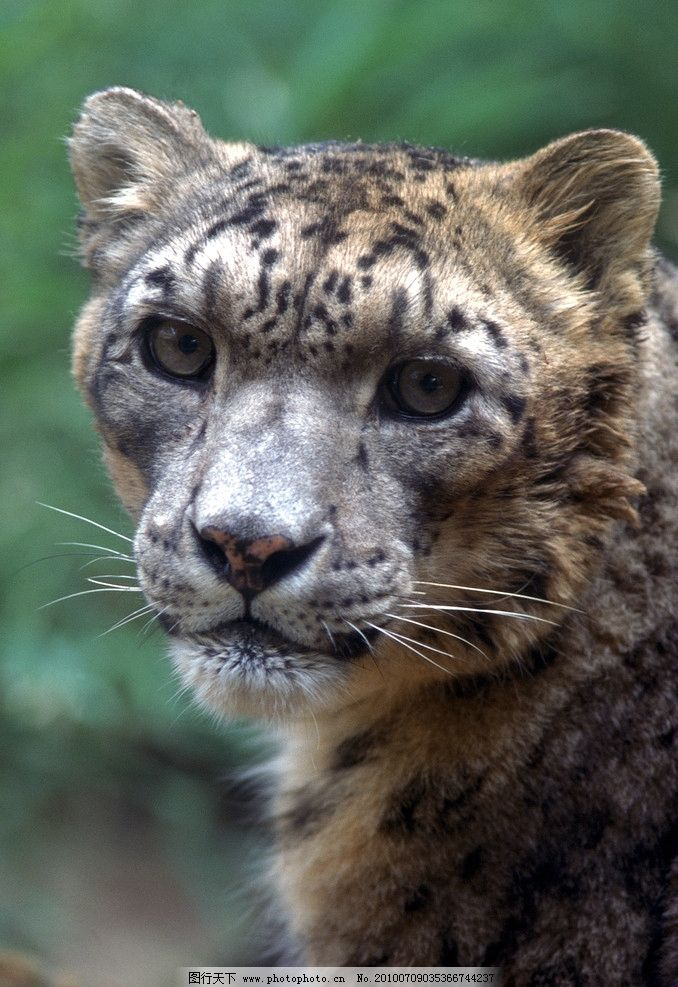 豹 豹子 壁纸 动物 虎 老虎 桌面 678_987 竖版 竖屏 手机