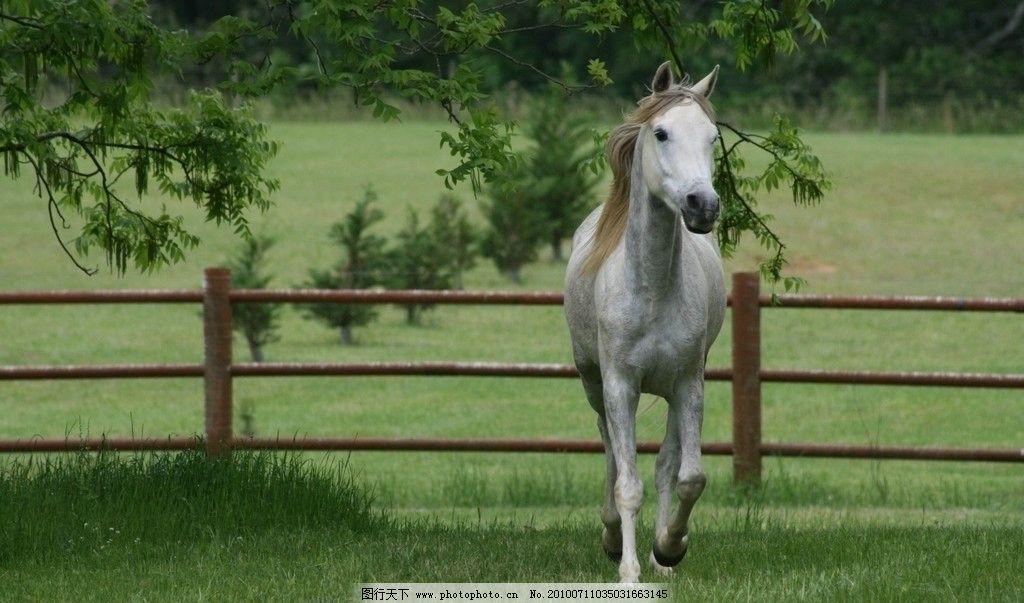 奔跑的马 白马 奔跑 草地 野生动物 生物世界 摄影 72dpi jpg