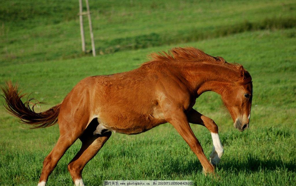 骏马 奔跑 草地 野生动物 生物世界 摄影 300dpi jpg