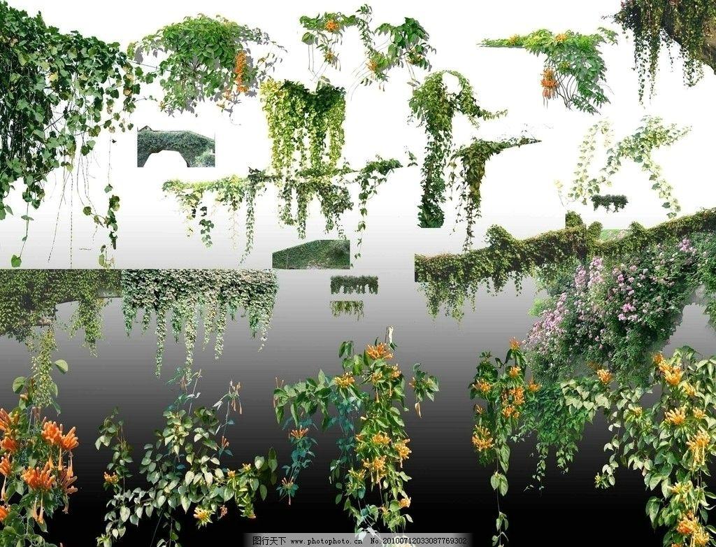 藤蔓 花藤 常青藤 植物 psd分层素材 其他 源文件库 藤蔓植物 素材 藤