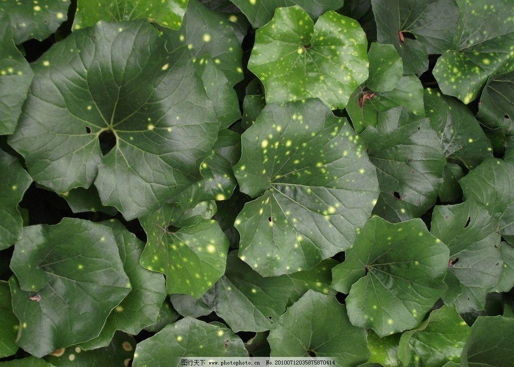 大叶草 叶子 荷叶 绿色 植物 树木树叶 生物世界 摄影 72dpi jpg