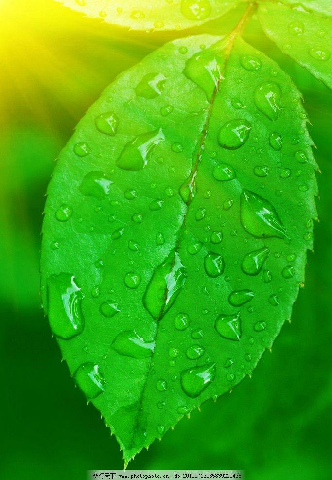 水滴与绿叶高清图片_树木树叶_生物世界_图行天下图库