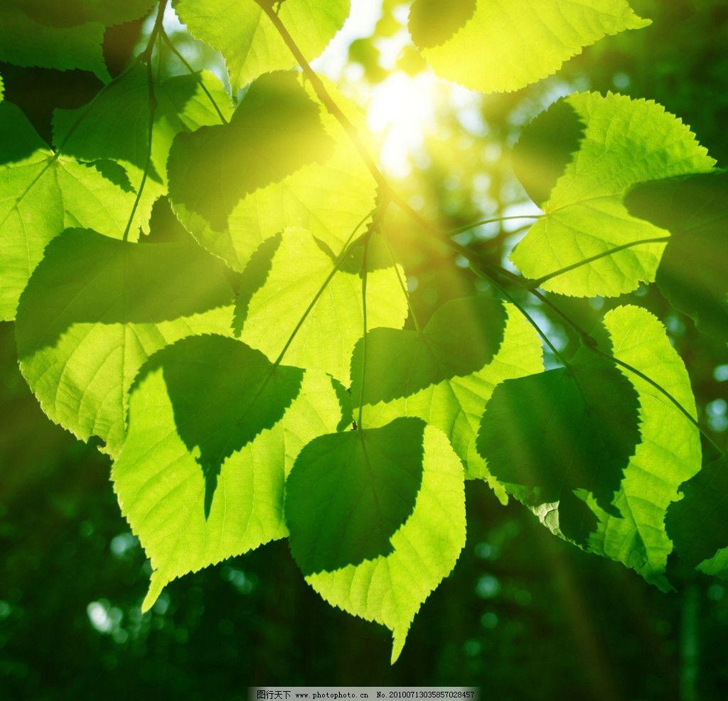 阳光下的绿叶高清图片_树木树叶_生物世界_图行天下