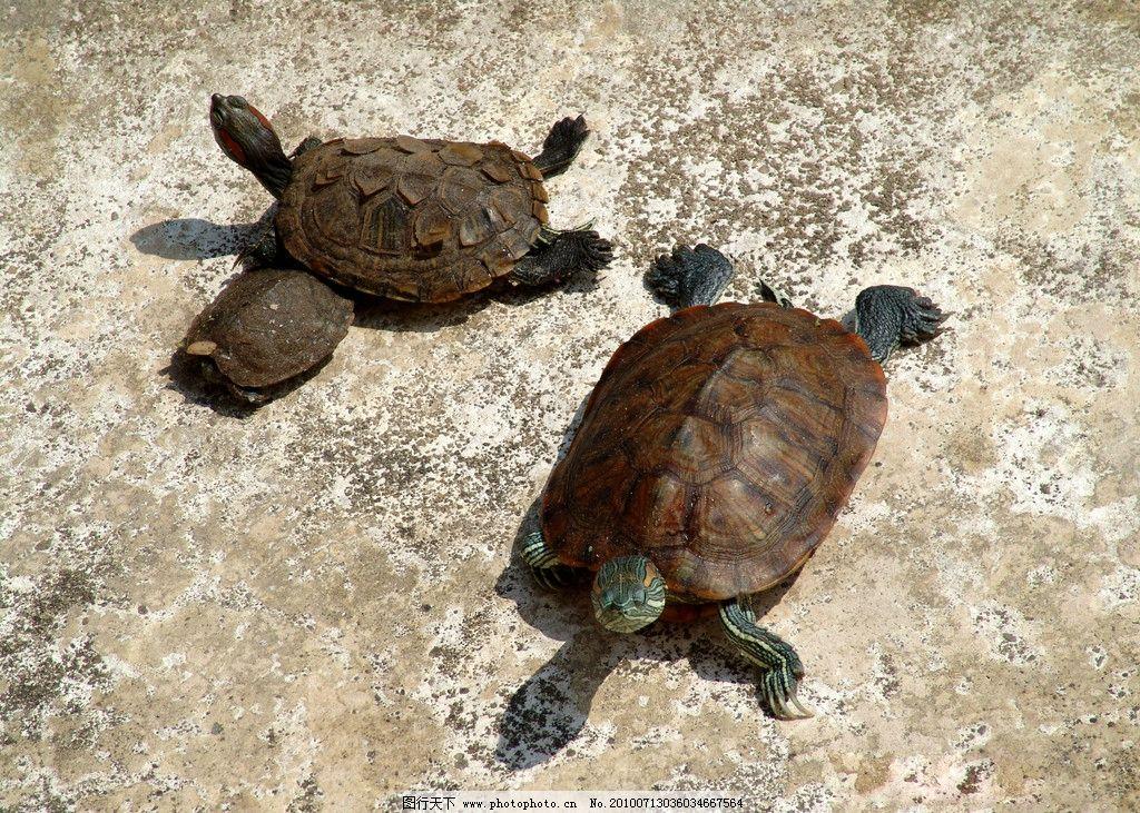 乌龟 两只乌龟 其他生物 生物世界 摄影 300dpi jpg