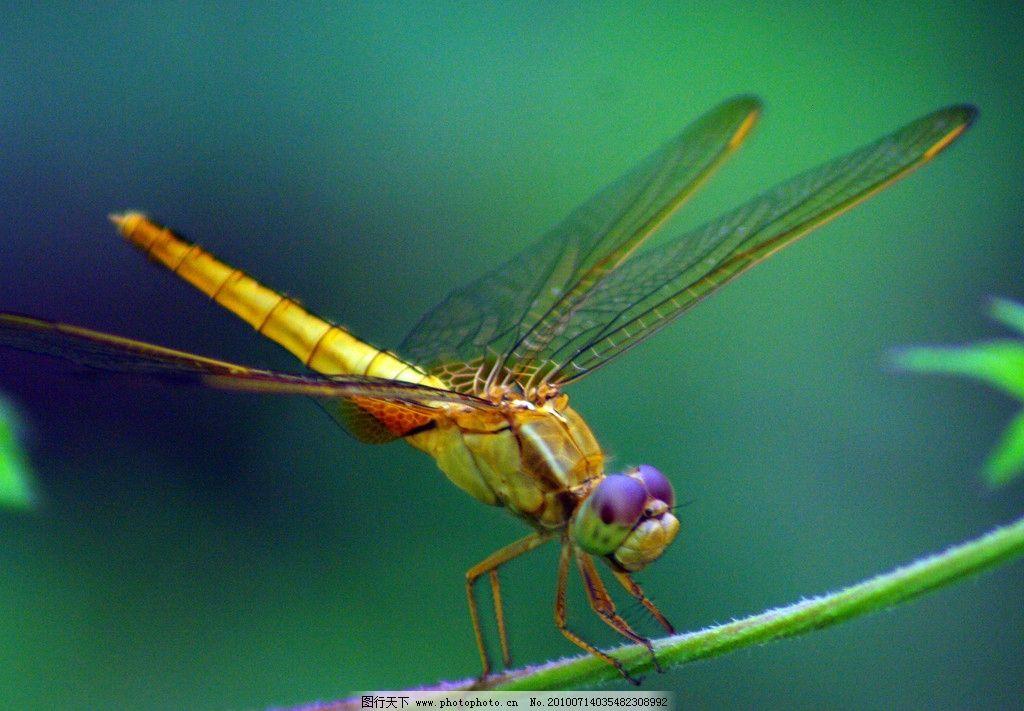 蜻蜓 动物 昆虫 特写 生物世界 摄影 72dpi jpg