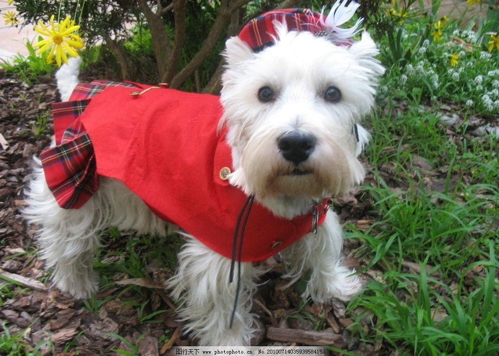 可爱的狗 可爱 狗 犬 蹲 草地 穿衣 红色 白色 戴帽 家禽家畜 生物