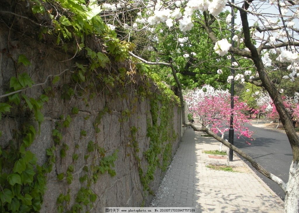 青岛八大关 樱花