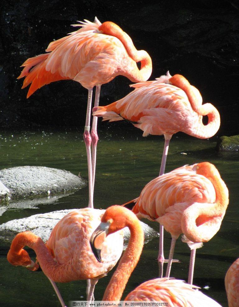 火烈鸟 湖水 栖栖的鸟 站立的鸟 睡觉的鸟 休息的鸟 各种鸟类图片