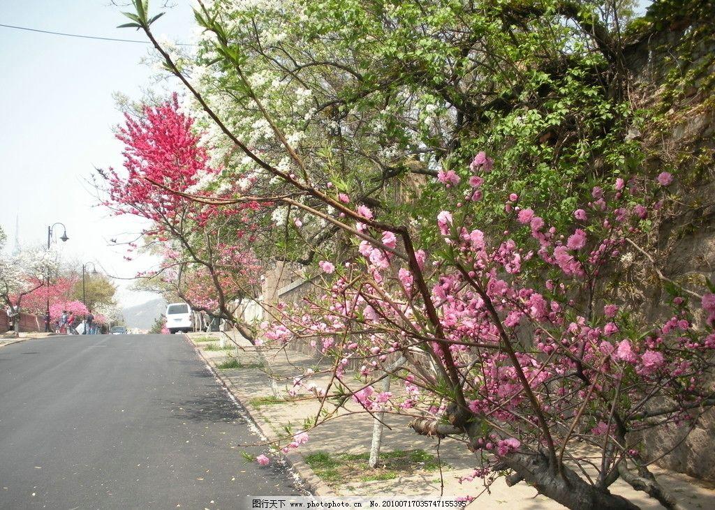 樱花 青岛八大关 春季