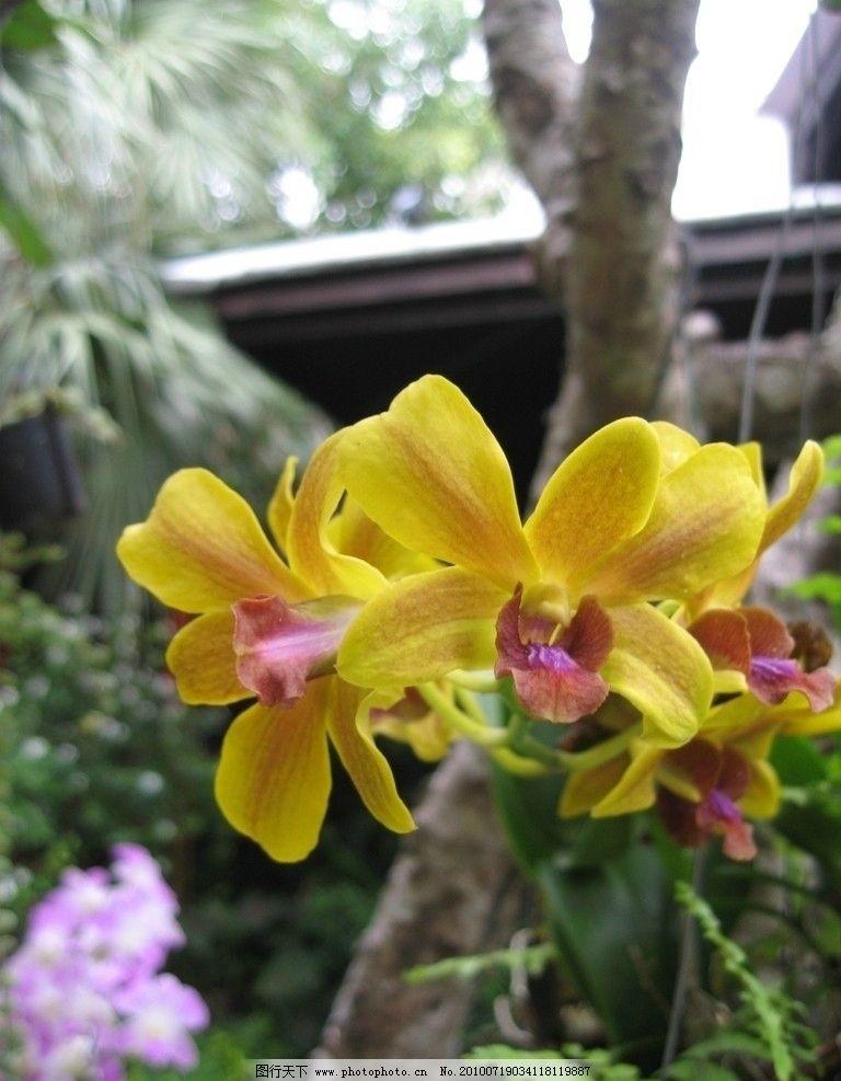兰花 泰国 黄色 普吉岛 自然风景 旅游摄影 摄影 180dpi jpg