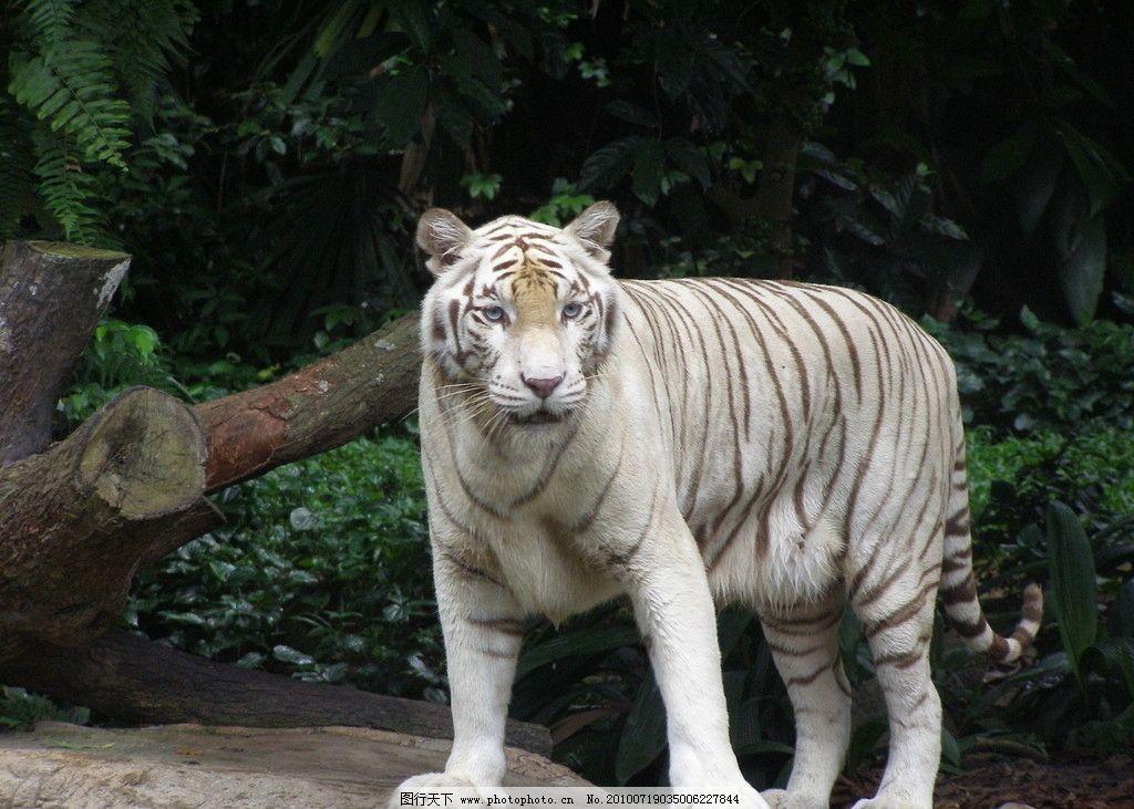 设计图库 设计元素 装饰图案  白色老虎 动物图片素材 陆地动物 哺乳