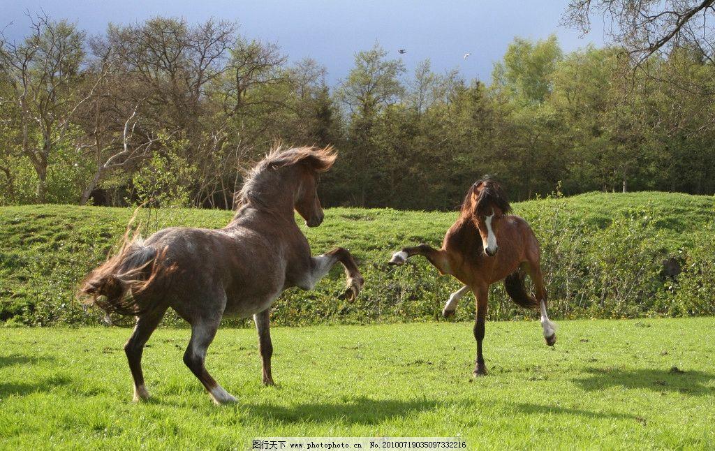 两匹嘻戏的马图片_野生动物