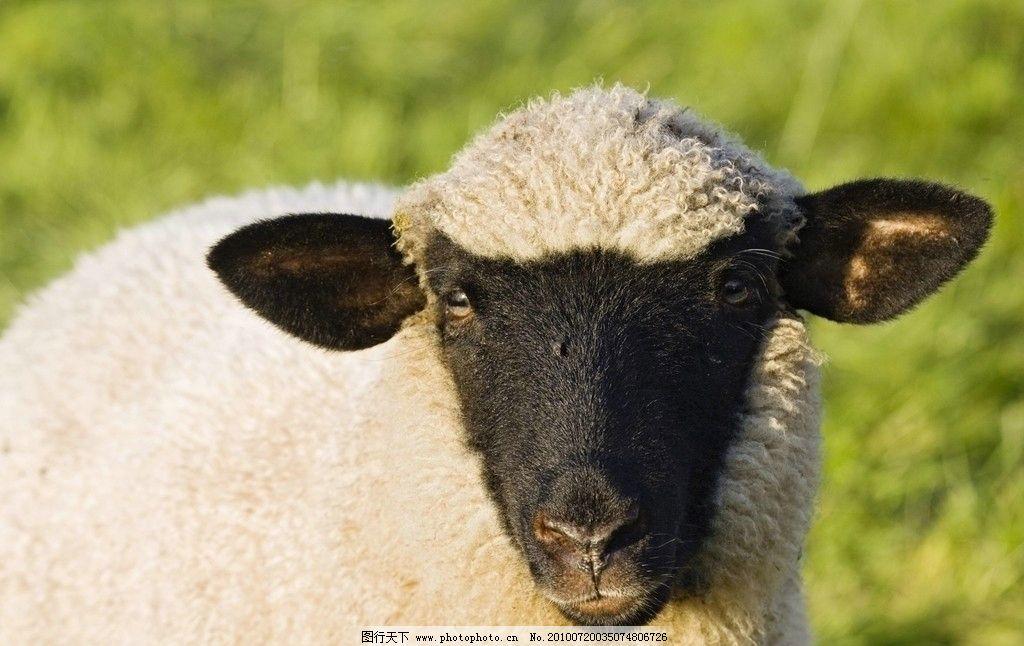 绵羊 羊毛 养殖 农业 养殖场 养殖业 野生动物 生物世界 摄影