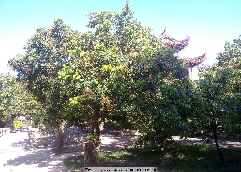 大自然风景 绿树 龙眼树 蓝天 自然景观 摄影