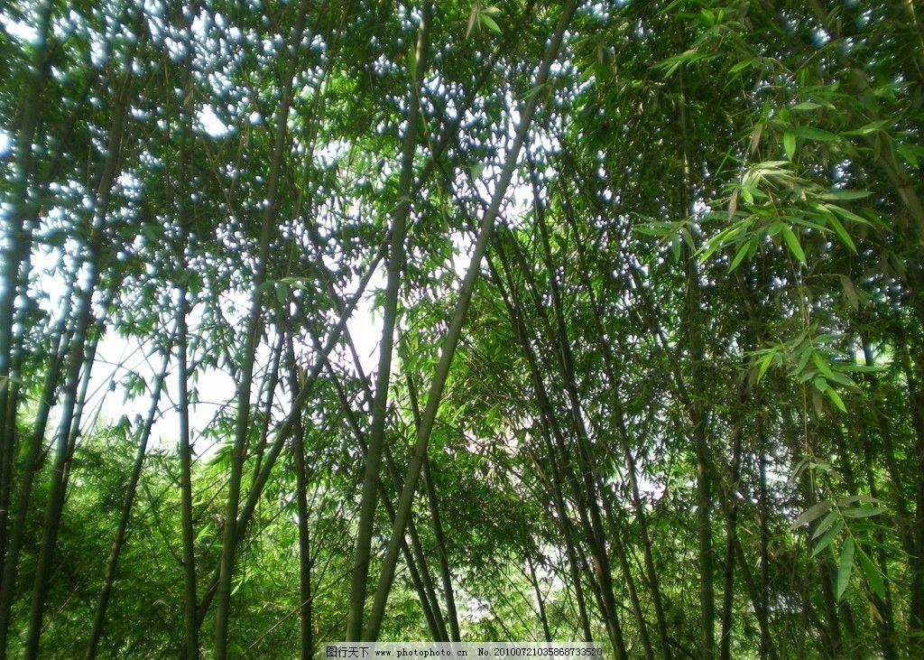 绿竹 竹子 竹林 自然风景 自然景观 摄影