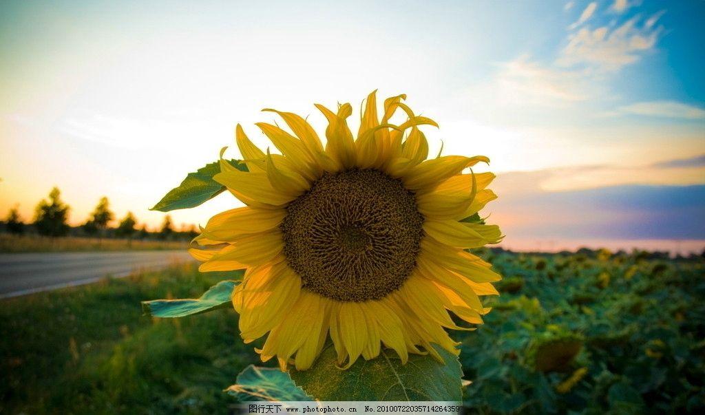 向日葵 花朵 太阳 白云 蓝天 微笑 风景 植物 海报 海外 高清