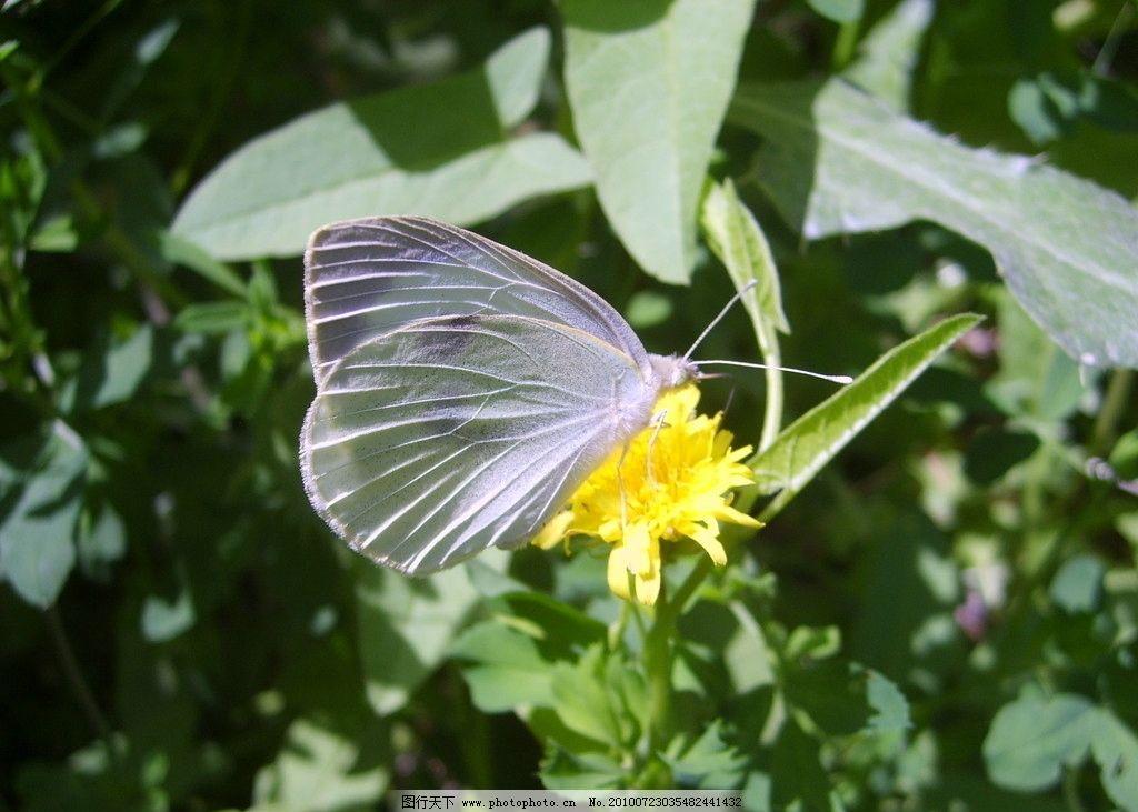 蒲公英 小花 蝴蝶传播花粉图片