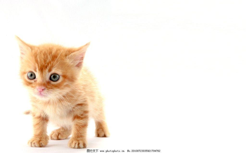 可爱猫咪 动物 宠物 可爱 猫咪 家禽家畜 生物世界 摄影 240dpi jpg