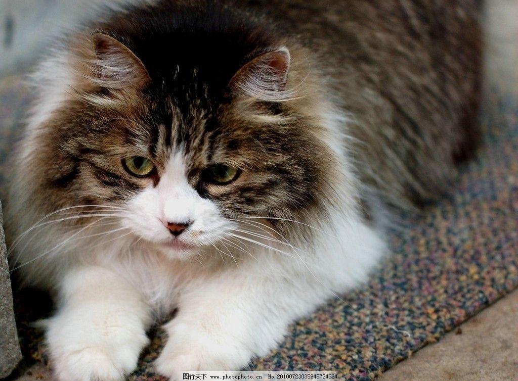 可爱猫咪 宠物 小猫 卡哇伊 灰白色 特写 摄影