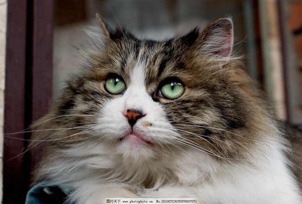猫咪仔 猫咪 宠物 小猫 可爱 暇想 白色 眼神 家禽家畜 生物世界 摄影