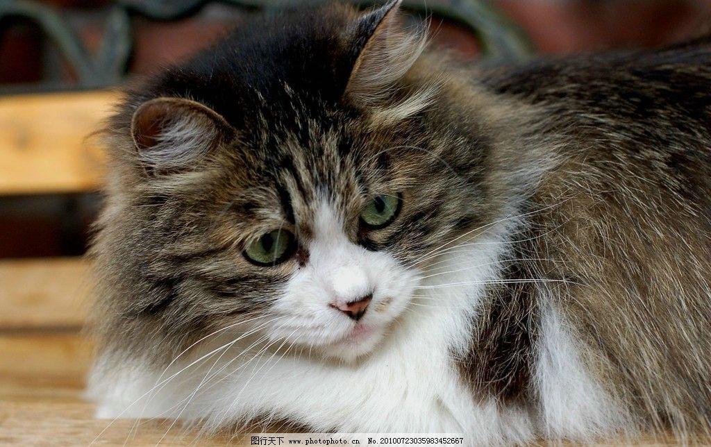 小猫 花猫 特写 黑色 白色 眼睛 猫咪 宠物 可爱 家禽家畜 生物世界
