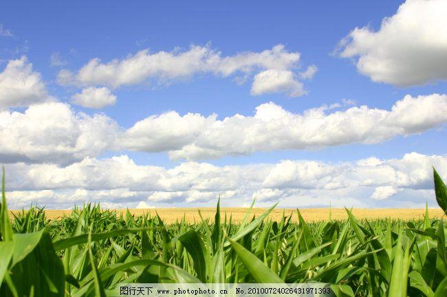 蓝天玉米地 蓝天玉米地免费下载 蓝天背景 玉米叶 图片素材 风景生活