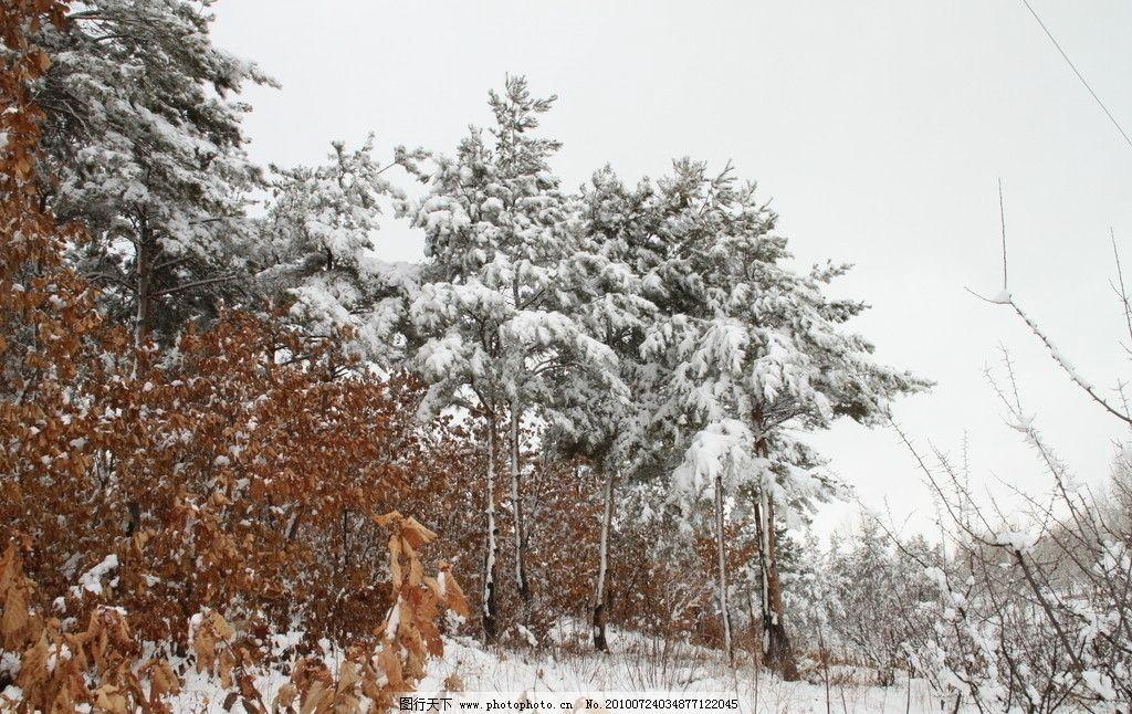 北方雪景 松树 树木 下雪 冬天 雪地 残叶 摄影