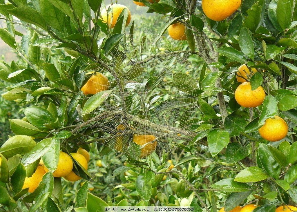 摄影 桔子 橘子树 橙子 植物 果树 树木树叶 生物世界 72dpi jpg
