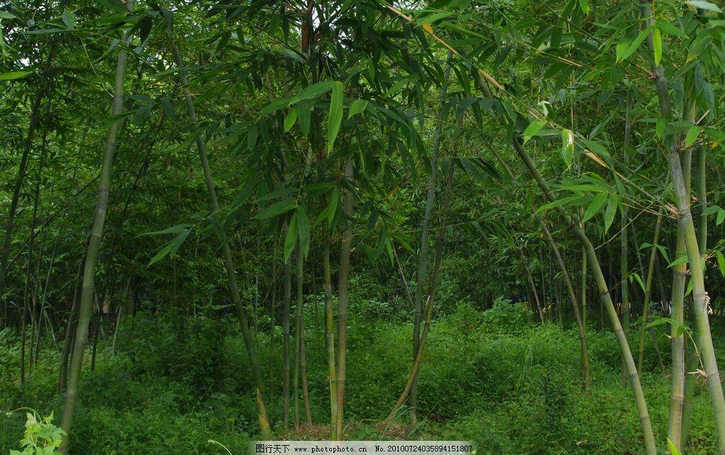 绿竹青青 绿竹 竹子 竹林 竹 绿 林子 树林 竹海 自然风景 自然景观