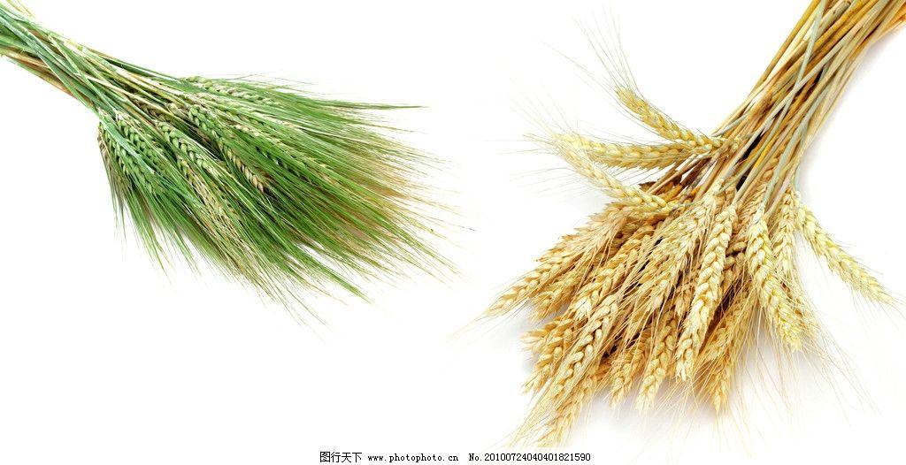 小麦 水稻 麦田 心情 麦粒 颗粒 稻田 丰收 金秋 饱满 农业