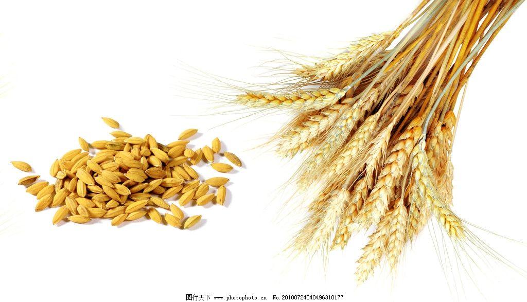 小麦 水稻 麦田 心情 麦粒 颗粒 稻田 丰收 金秋 饱满 农业 原料 五谷