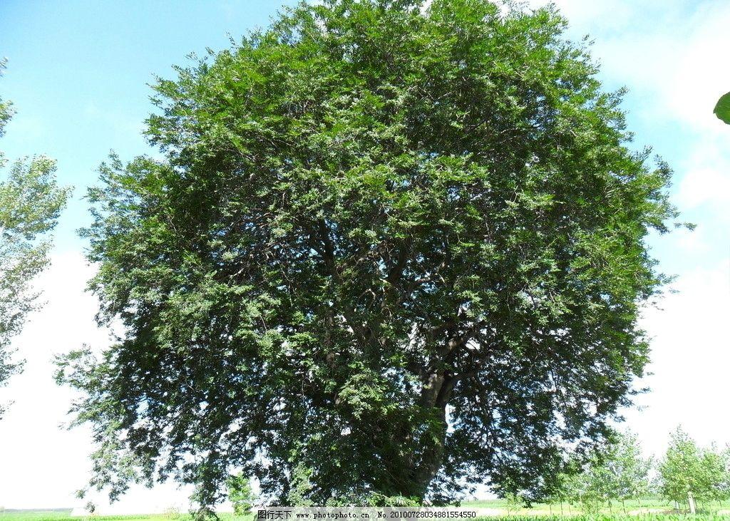 古树 蓝天 树木 大树 树干 草地 天空 自然风景 自然景观 摄影 96dpi