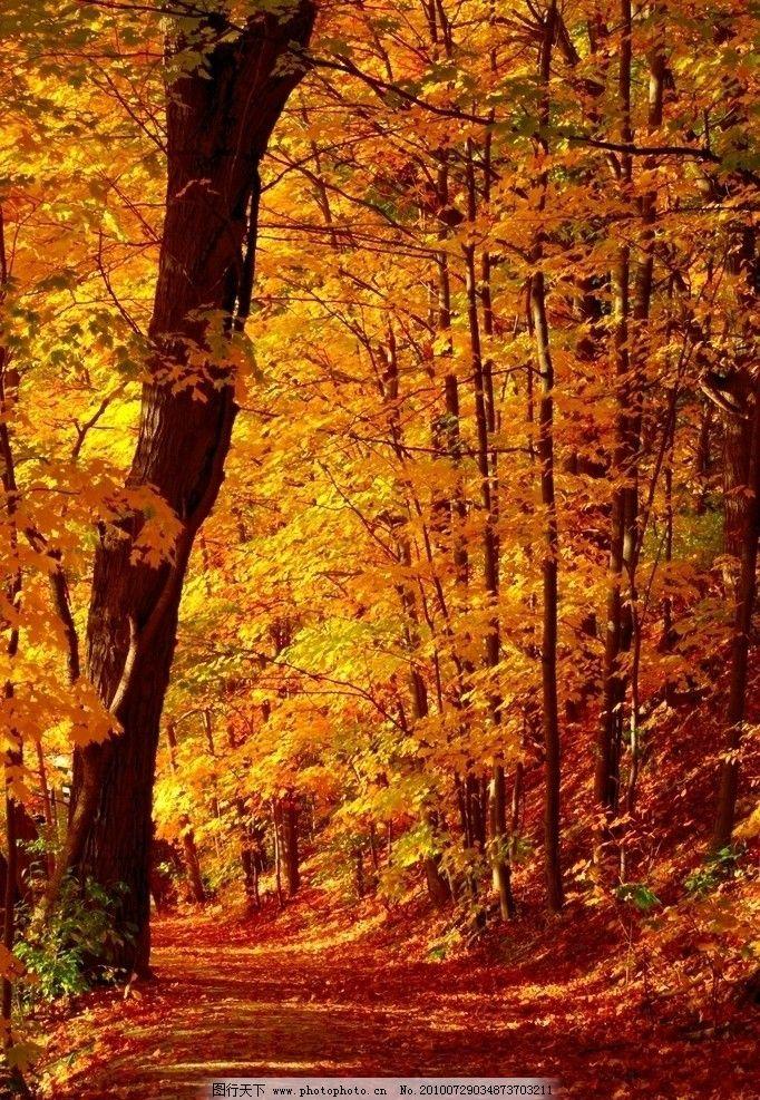 枫林小路 自然景观 风景 黄昏 日光 森林 树木 草地 自然风景