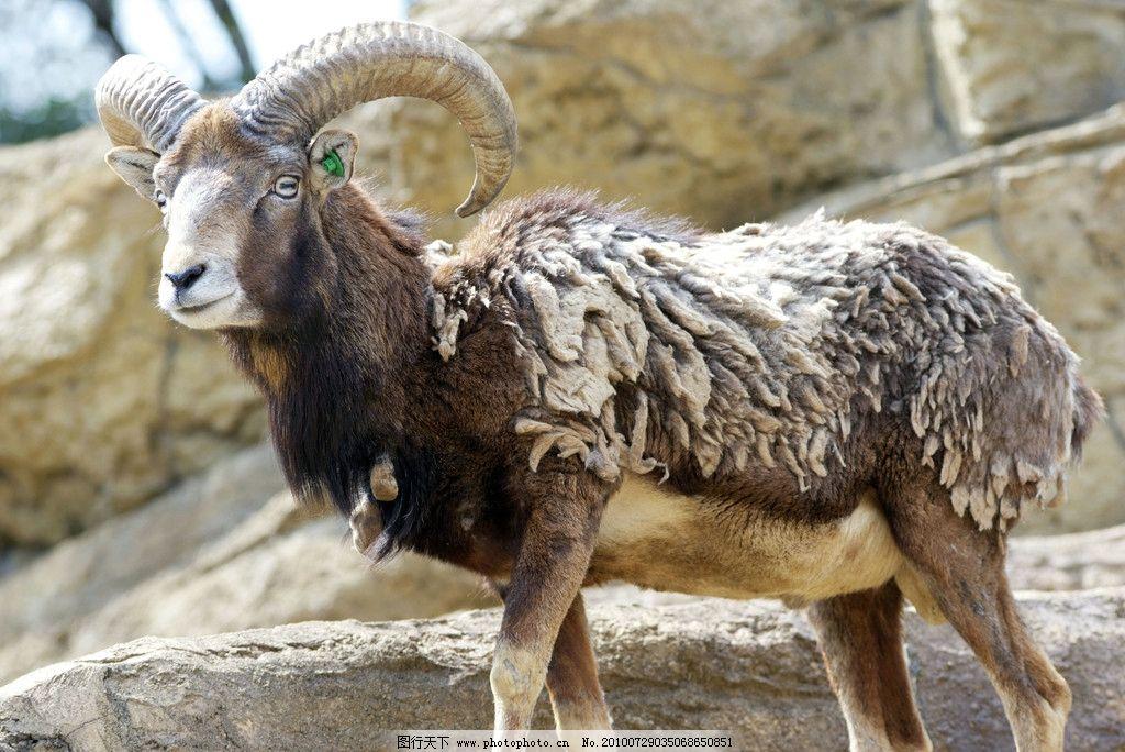波尔羊 岩石 阳光 羊类 野生动物 生物世界 摄影 300dpi jpg