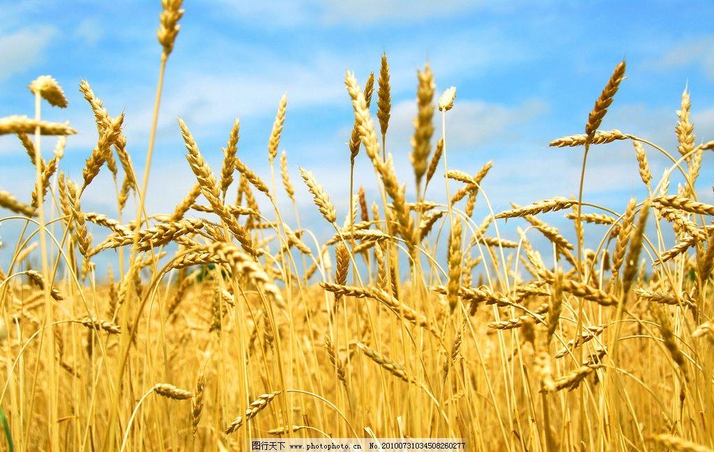 小麦 麦田 丰收 稻田 水稻 金黄 农田 农活 农民 田野 劳作 自然 麦