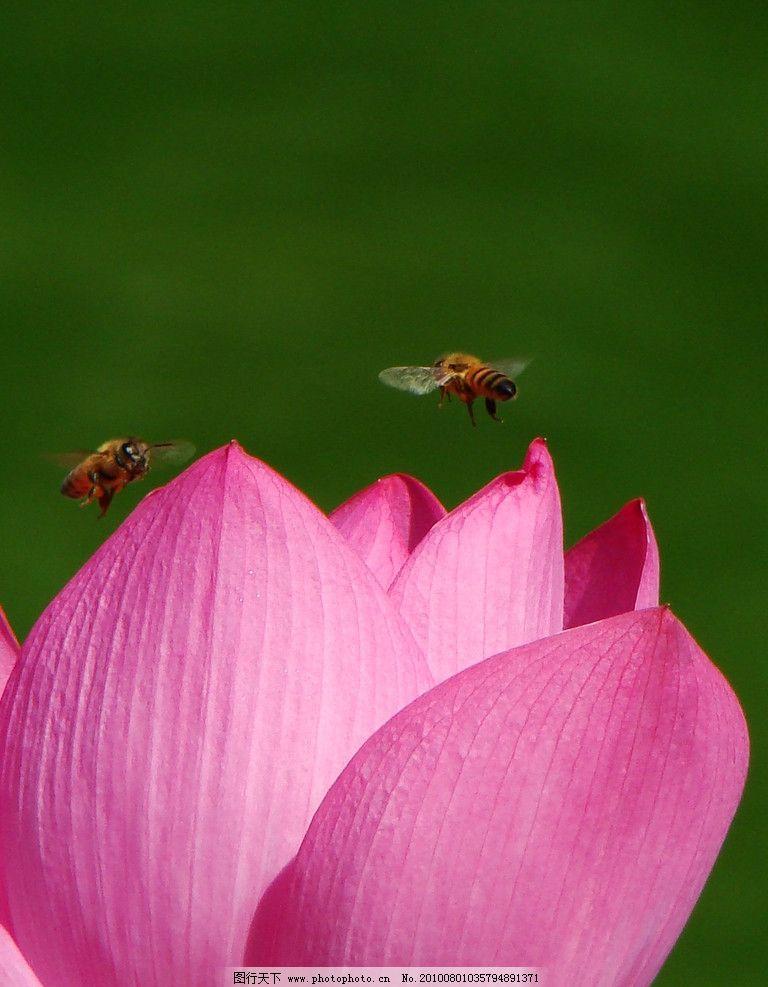 荷花 蜜蜂 花草 生物世界 摄影 绿色 自然风景 两只小蜜蜂 采花粉