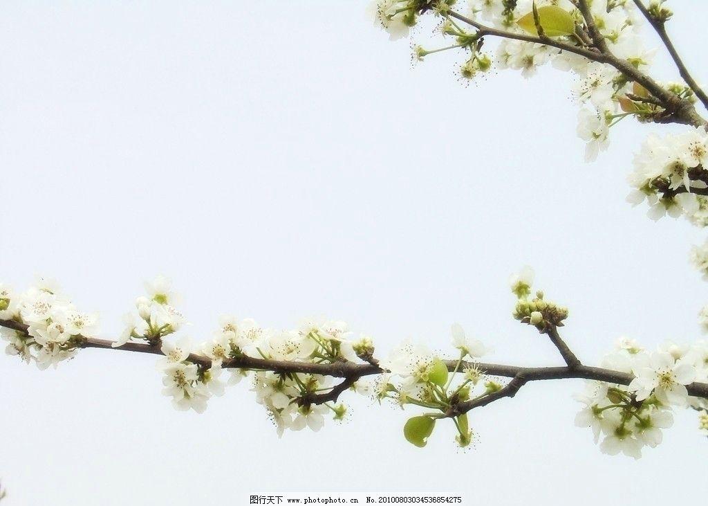 一枝梨花图片