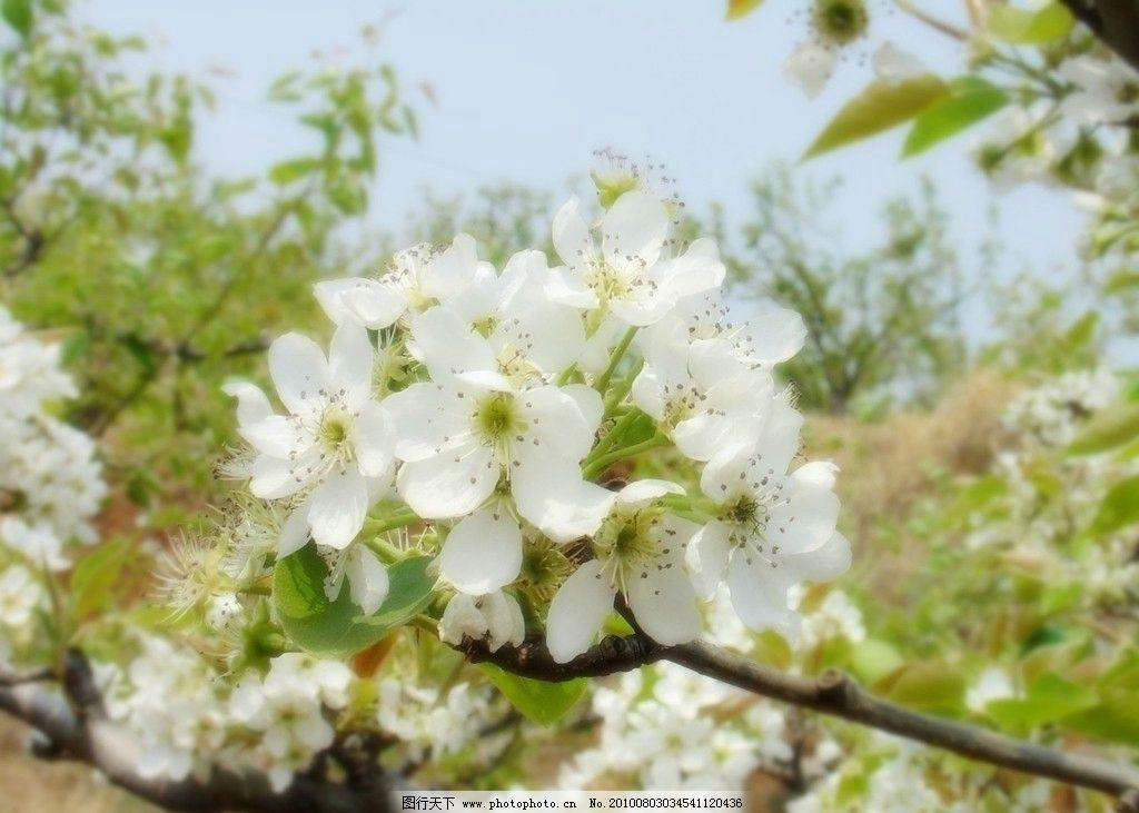 花 梨花 一朵梨花 花园 花特写 白花 梨 梨树 梨园 田园风光 自然景观
