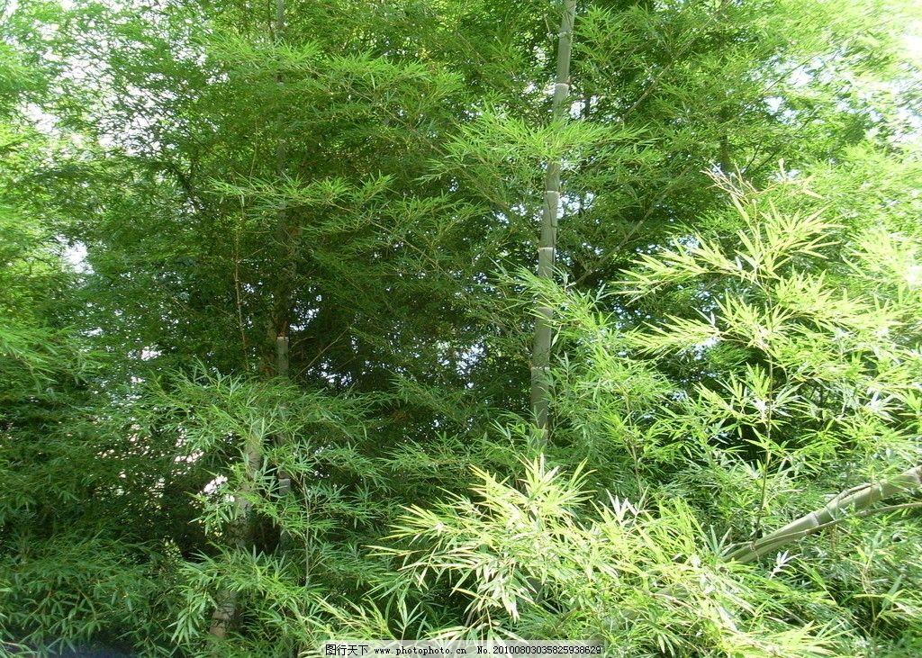 竹子 竹 绿色 风景 绿化 翠绿 自然 树木树叶 生物世界 摄影 96dpi