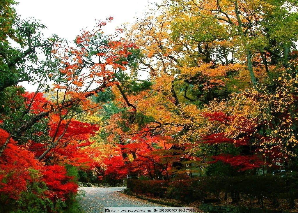 自然风景 枫叶 大路 枫叶地区 山区 红火 树叶 大树 天空 白色 园林