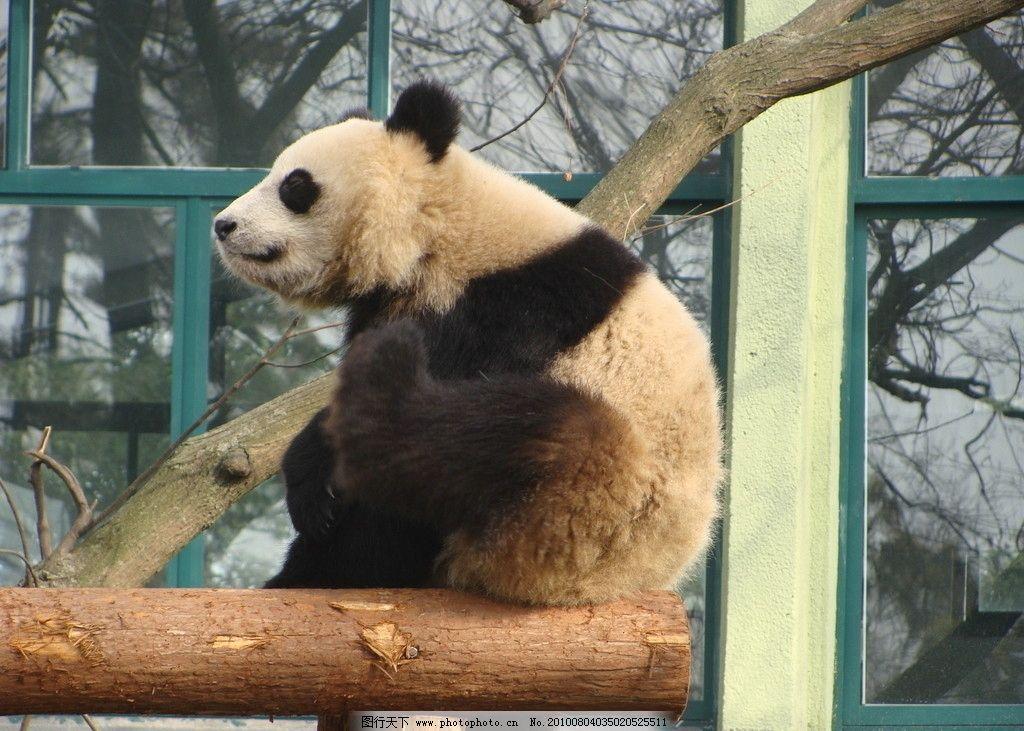 熊猫 熊猫 动物园 熊猫宝宝 野生动物 生物世界 摄影 72dpi jpg