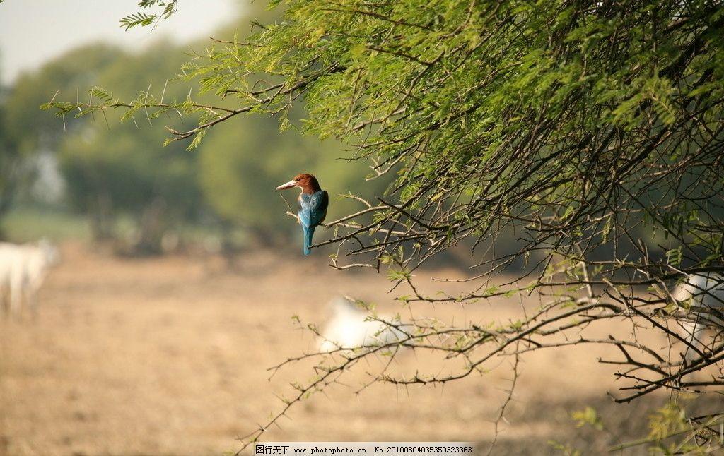 动物 野生 原始 原始丛林 生物世界 动物世界 鸟类 蓝鸟 树枝 摄影 72
